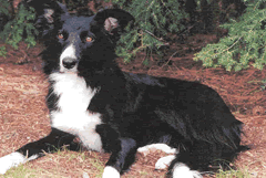 Trained Border Collie, Seattle, WA
